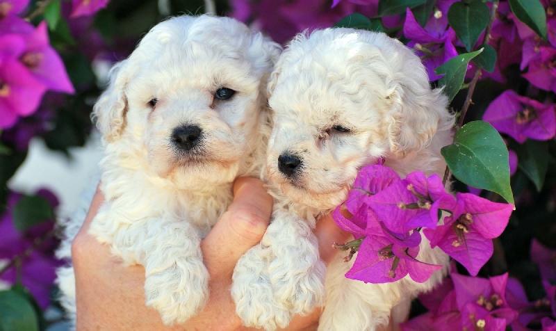 Pensione per cani bari i due trulli bari for Carattere barboncino